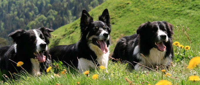 My Way Bordercollies
